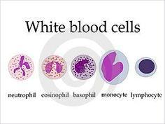 Physical appearance of human red blood cells white blood cells and white blood cells study tips agranulocytesmonocytes lymphocytes granulocytes ccuart Choice Image