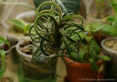 Tillandsia caput-medusae, или моя первая тилландсия - стр. 1 - Атмосферные тилландсии - Цветочный форум на FloralWorld.ru