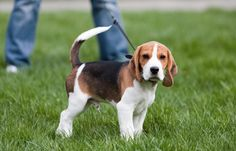 How long should I #walk my #puppy for? - Walking a puppy can often give owners a dilemma. To work out how long to walk your puppy for, start with our general rule then consider your own dog's circumstances.