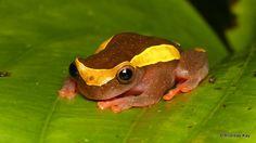 https://flic.kr/p/UFY5qA | Upper Amazon treefrog, Dendropsophus bifurcus | from Orkidea Lodge, Ecuador: www.facebook.com/OrkideaH www.flickr.com/andreaskay/sets/72157681516562132