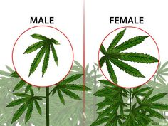 How to Identify Female and Male Marijuana Plants. If you are growing marijuana for medicinal purposes, you need to know how to identify female and male marijuana plants. Almost all growers prefer female marijuana plants because only. Cannabis Cultivation, Cannabis Edibles, Cannabis Plant, Thc Oil, Growing Weed, Weed Plants, Medical Marijuana, Gardens, Herbs