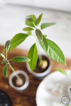 Olohuoneen pöydällä on pieni kokoelma itse kasvatettuja vihreitä. Kun sää ulkona on mitä on, tykkään todella paljon, että edes sisällä ...