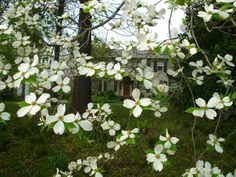 Dogwood in Brownsville, Tennessee at My Cousin's Home