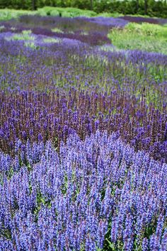 a river of salvia...  the lurie garden in chicago.  designed by piet oudolf.