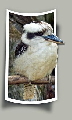 Clever framing of a Kookaburra popping out of the photo.