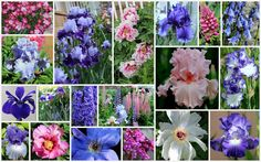 World of Irises: TALL BEARDED IRISES: IN FULL BLOOM--A Wonderful Combination of Color and Form