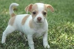 La Habra Heights, CA - Chihuahua/Jack Russell Terrier Mix. Meet Pierre a Puppy for Adoption. Chihuahua Terrier Mix, Chihuahua Love, Pitbull Terrier, Jack Russell Terrier, Jack Russell Chihuahua Mix, Frenchton Dog, Baby Animals, Cute Animals, Pet Dogs