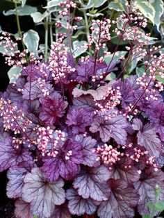 Silvery-purple foliage provides a lustrous glow in the garden, even into the winter months. Dainty white flowers on dark stems rebloom against tight mounds of richly colored, sturdy foliage. Shade Garden Plants, Garden Shrubs, White Flowers, Beautiful Flowers, Coral Bells Heuchera, Border Plants, Deciduous Trees, Evergreen Shrubs, Shade Perennials