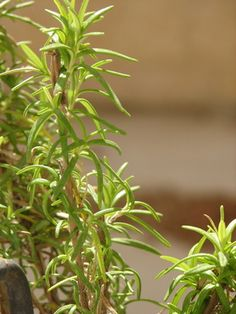 The uses of rosemary...