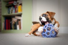 Never owned a boxer, but they are beautiful dogs...