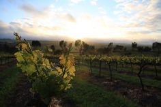 Clare Valley, Australia www.bcfw.co.uk Clare Valley, Vineyard, Australia, Outdoor, Outdoors, Vine Yard, Vineyard Vines, Outdoor Living, Garden