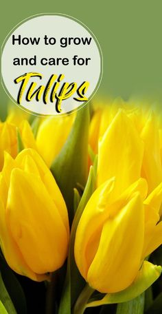 How to grow and care for Tulips | Plant Tulip bulb - NatureBring