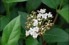 Sneeuwbal  De Viburnum tinus (Nederlandse naam: Sneeuwbal) is een geslacht van compact groeiende planten die veel gebruikt worden als haagplanten. De Viburnum tinus heeft in de winter en in het voorjaar eerst veel kleine roze knoppen, die later uitgroeien tot mooie bloemschermen van ca.
