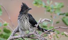 Levaillant's Cuckoo, or African Striped Cuckoo, Clamator levaillantii, at Shingwedzi, Kruger Park | Flickr - Photo Sharing!