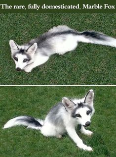 The Rare Fully Domesticated Marble Fox cute animals fox adorable animal pets baby animals wild animals