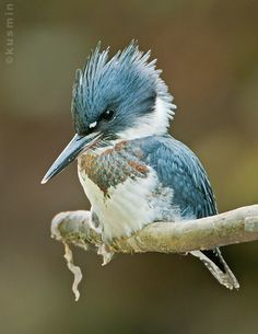 fairy-wren: belted kingfisher (photo by revs and audy)