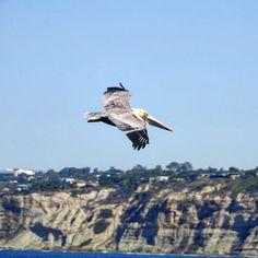 #bird #birdfotography #pelucan #lajolla #fly #flybird #animal #nature #natgeo #animalplanet #instabird #instapic #photography #photo #fotografia #foto #imagen #lajollalocals #sandiegoconnection #sdlocals - posted by 🎥📹📷  Pasión X La Vida   🎥📹📷  https://www.instagram.com/artpic04. See more post on La Jolla at http://LaJollaLocals.com