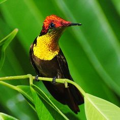 The Ruby-topaz Hummingbird (Chrysolampis mosquitus), commonly referred to simply as the Ruby Topaz, is a small bird that breeds in the Lesser Antilles and tropical northern South America. It is 8.1 cm long and weighs 3.5 g. Compared to most other hummingbirds, the almost straight, black bill is relatively short.