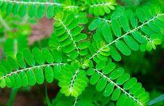 Esta planta/hierba sirve como método natural para eliminar los cálculos renales (piedras en los riñones), una hierba utilizada especialmente para este...
