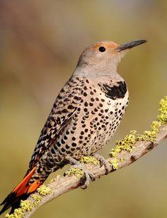 All Newest - Pixdaus | northern flicker bird - 3 By: Muhamed