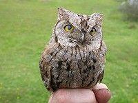 Eurasian Scop Owl