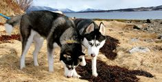 Mother and daughter. Mans Best Friend, Best Friends, Arwen, Dogs And Puppies, Husky, Heaven, Daughter, Spring, Animals