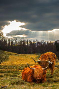 Highland Cows of Scotland