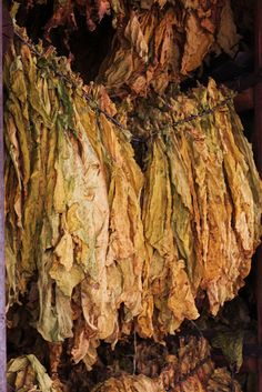 Curing tobacco leaves by Yipski, via Flickr