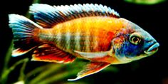 """""""Butterfly Peacock"""" Cichlid 