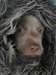 William Wegman: I love photographing puppies at various stages of their… Weimaraner Puppies, Vizsla, Dogs And Puppies, Doggies, I Love Dogs, Puppy Love, Cute Dogs, Baby Animals, Cute Animals