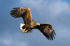 A pair of sea eagles have fledged two chicks in the Deeside area of the Cairngorms National Park this year.