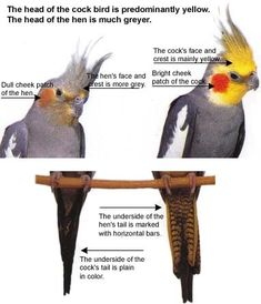 info for cockatiel care takers Cockatiel Toys, Cockatiel Care, Love Birds Pet, Animals And Pets, Cute Animals, Animals Planet, Parrot Facts, Gato Animal, Parrot Toys