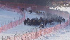 White Wolf : Extinct' Bison Filmed Thundering Back Into The Wild (Video)