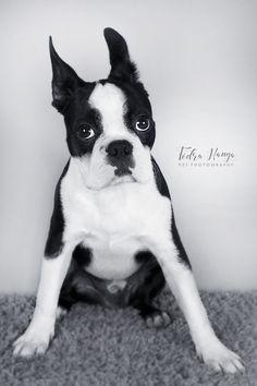 Boston terrier -ZADAR-FEDRA HANGA petphotography http://petstudio1.webnode.hu/munkam/ https://www.facebook.com/FedraHanga/