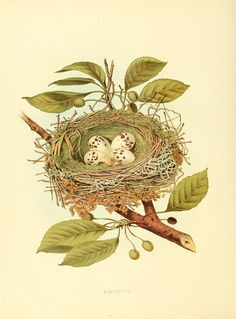 Nests and eggs of birds of the United States ..