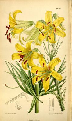 Lemon Lily - Lilium parryi - circa 1882