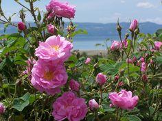 Rosa Damascena Trigintipetala rose сорт розы фото http://www.roza.guru/