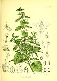 322078 Melissa officinalis L. / Berg, O.C., Schmidt, C.F., Atlas der…