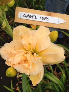 Angel Cups