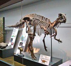 Fukuisaurus tetoriensis. Early Cretaceous. Fukui, Japan Dinosaur Discovery, Prehistoric, Fossils, Reptiles, Lion Sculpture, Japan, Statue, Dinosaurs, Prehistoric Age