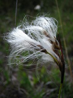Eriophorum (cottongrass, cotton-grass or cottonsedge) is a genus of about 25 species of flowering plants in the family Cyperaceae, the sedge family. They are found throughout the temperate Northern Hemisphere being particularly abundant in Arctic tundra regions