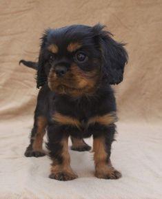 Black and Tan Cavalier King Charles Spaniel Puppy #CavalierKingCharlesSpaniel