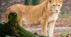 ¿Cómo dan a luz las leonas?. Los leones salvajes normalmente son sexualmente maduros a los dos años y la mayoría de las leonas ya se han reproducido a la edad de 4 años. Las leonas entran en celo varias veces al año y se aparean con uno o más leones machos docenas de veces en un período de unos pocos días. Las leonas se aparean para ovular. Cuando una leona está en celo, los ...