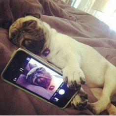 """""""I'm ready for the weekend.""""  #pugpower #puglove #pug #puglife…"""