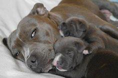 Pit Bull Mom & Babies