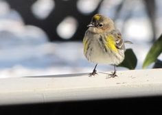 Yellow-rumped Warbler - The Nature In Us Newsletter - 2/15/16