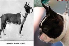 A triste história de como o Boston Terrier perdeu o nariz - GreenMe Brasil Dog Show, Pugs, Boston Terrier, Kittens And Puppies, Animals, Brazil, Gatos, Sad, Pug