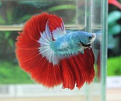 IMPORTED - HM Sea of Fire Male Live Betta Fish - Hunter in Pet Supplies, Fish & Aquariums, Live Fish | eBay
