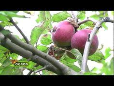 Ogród bez tajemnic ,, Stare odmiany jabłoni w Bolestraszycach'' - YouTube Plum, Fruit, Youtube, Youtubers, Youtube Movies