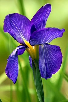 A beautiful purple iris. Iris Flowers, All Flowers, My Flower, Purple Flowers, Planting Flowers, Beautiful Flowers, Purple Iris, Cactus Flower, Exotic Flowers